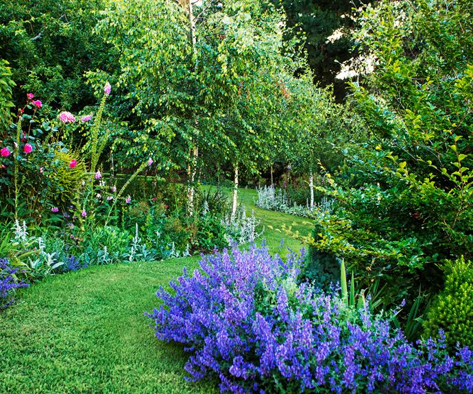 A path edged in purple catmint (*Nepeta* 'Six Hills Giant') sweeps through a stand of slender birch trees.