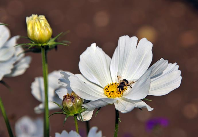 Cosmos is a hardly flowering plant that will attract bees to your garden. Photo: Getty