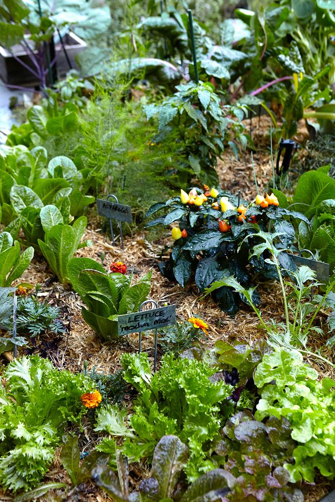 Plants such as leafy greens and chilli are kept in a series of raised beds, close to the kitchen.
