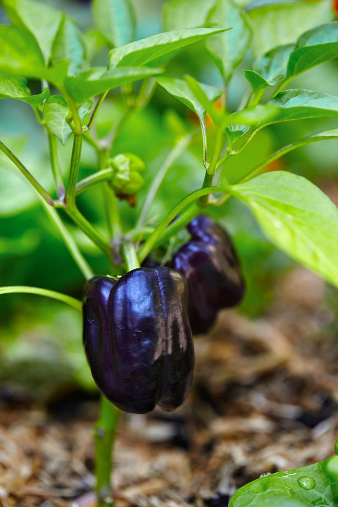 'Purple Beauty' capsicum are just some of the edible bounty found throughout the back garden.