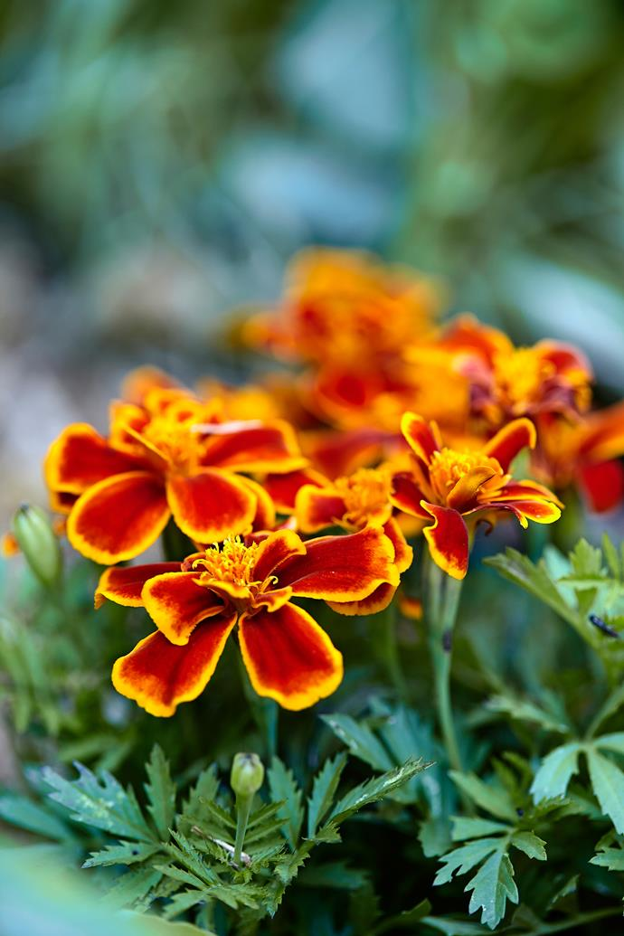 Marigolds are a natural pest deterrent – perfect for a sustainable garden.