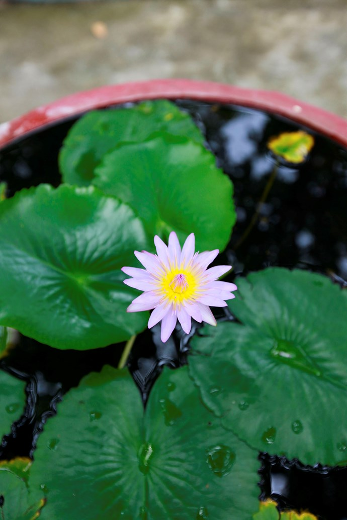 Water lilies need about 5-6 hours of full-sun in order to flower. Photo: Getty