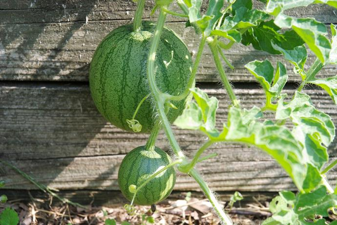 The 'Sugar Baby' watermelon is perfect for small gardens and is known as an 'icebox' variety because it is petite enough to fit in the fridge.
