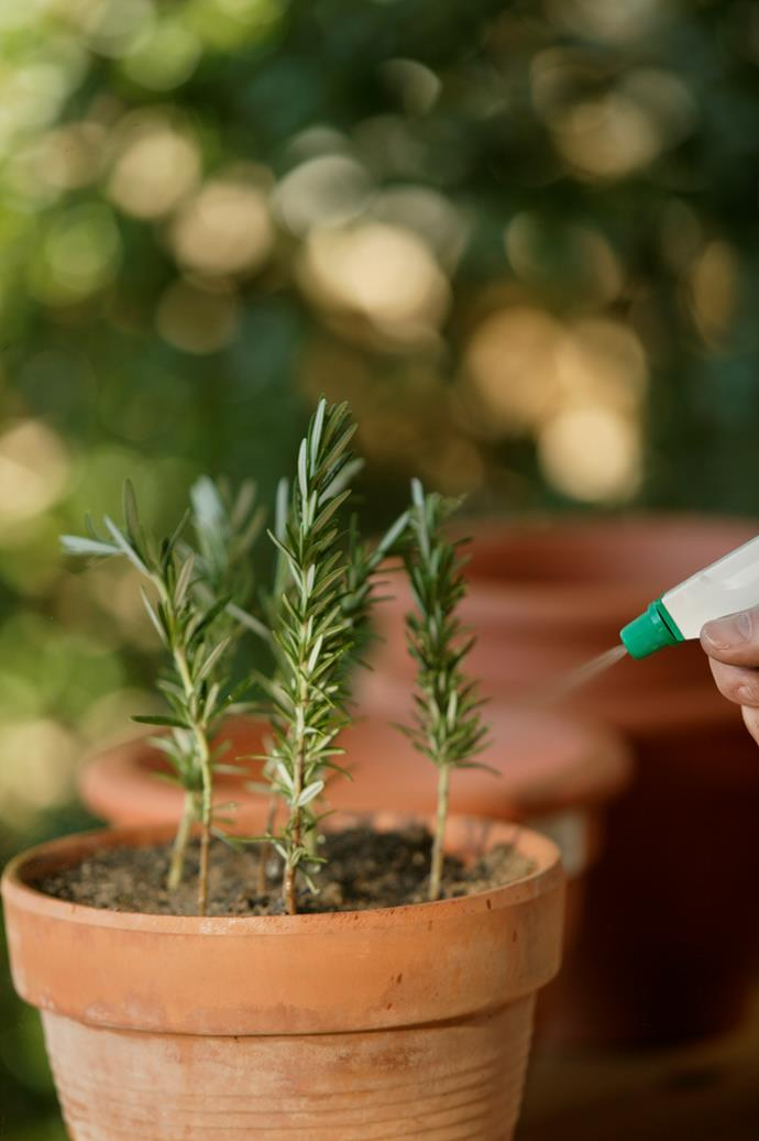 Rosemary is one of the easiest plants to grow from a cutting.