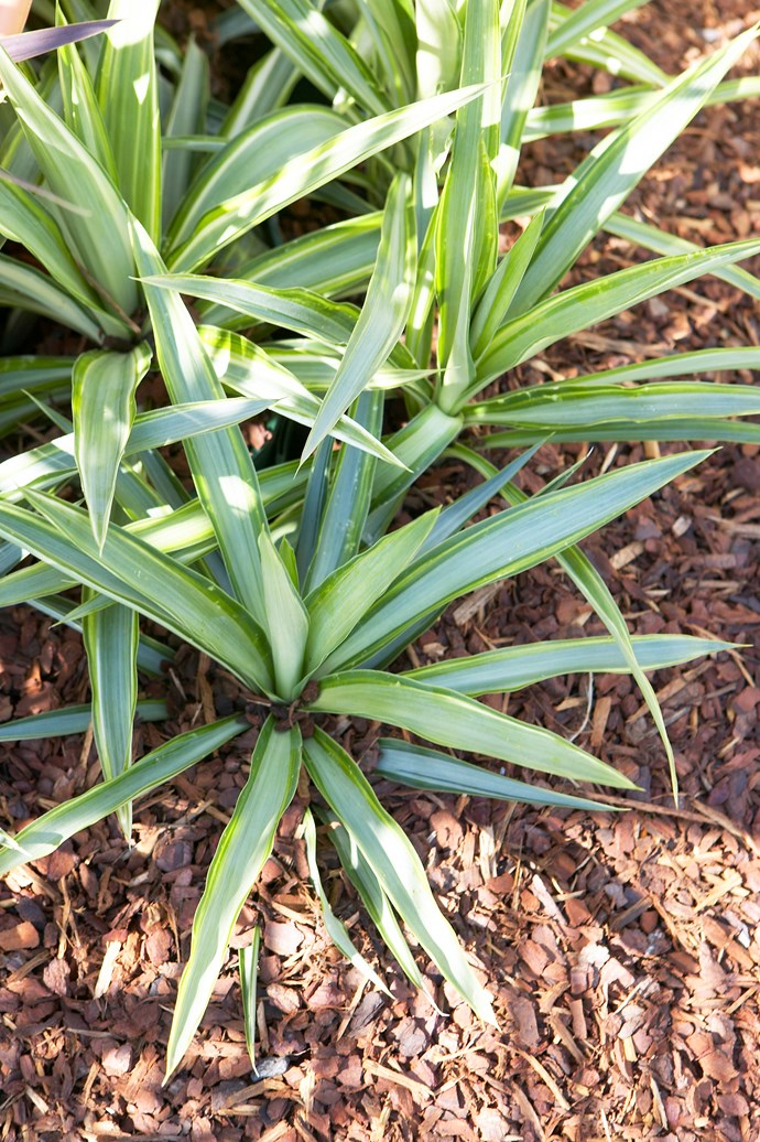 Add mulch around plants to prevent roots from drying out and to help them retain water. Photo: Kylie Rae / bauersyndication.com.au