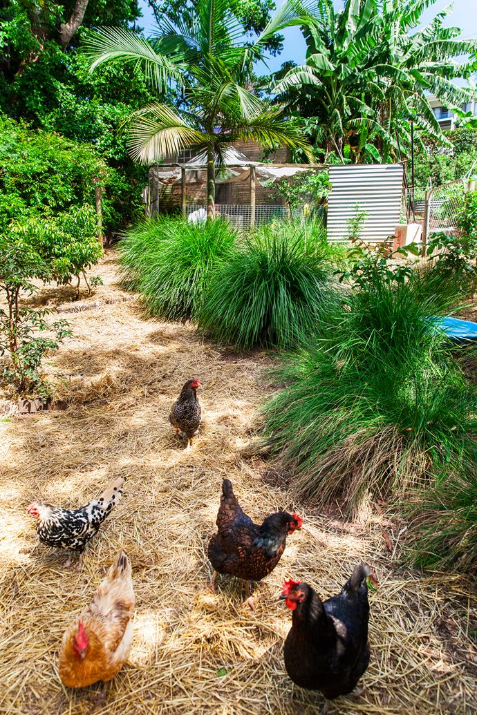 Claudia's chickens roam in their straw yard.