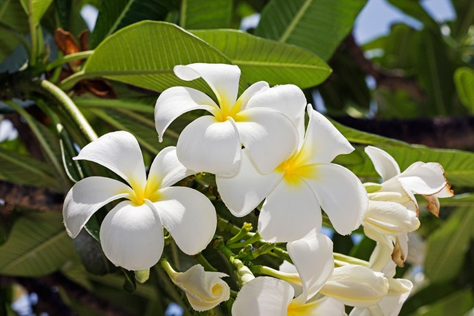 The frangipani has a lush, rich floral fragrance which gives gardens a tropical scent.
