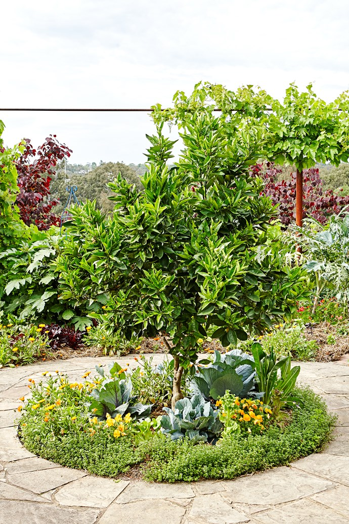 A Lane's Navel orange gets the royal treatment in this kitchen garden, surrounded with calendula and thyme.