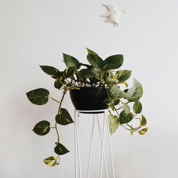 """Not just a pretty face, Devil's ivy keeps a clean house and is renowned for her sweet air-purifying skills. Available at [Domus Botanica](http://www.domusbotanica.com.au/