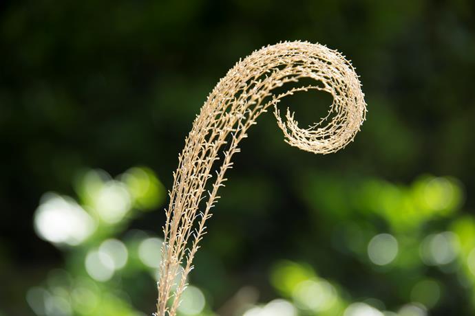 The feathery, spiralling flowerhead of *Miscanthus transmorrisonensis*.