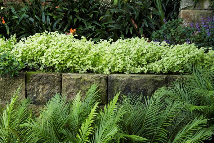 Dainty fronds of *Blechnum gibbum* 'Silver Lady' (dwarf tree fern) reach towards the *Helichrysum petiolare* 'Limelight' at the top of the wall.