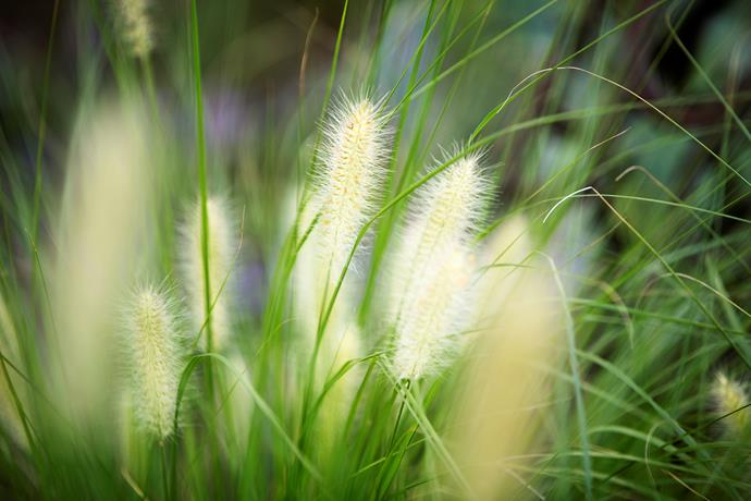 *Pennisetum alopecuroides* 'Nafray', the only native grass used in the garden.