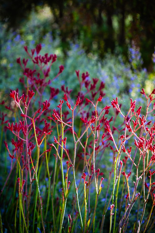 While Kangaroo paw comes in myriad colours, rich red is the perfect choice for Christmas.
