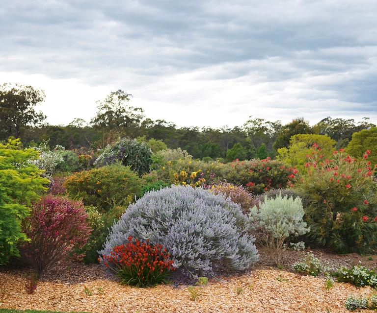Christmas Bush In Pots.How To Pick Australian Native Plants For Your Garden Homes To Love