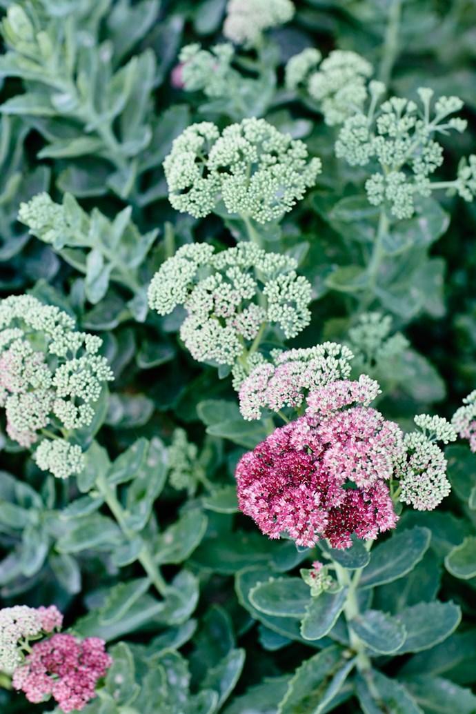 The broccoli-like flowerheads of *Sedum* 'Autumn Joy' turn from green to pink to rust.