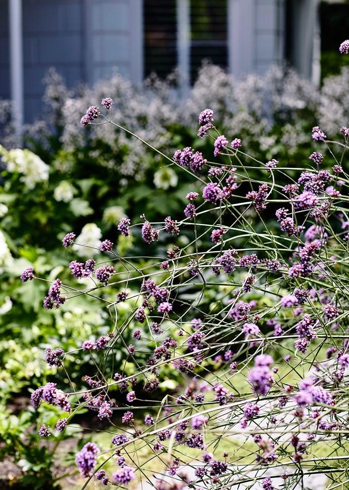 *Verbena bonariensis.*