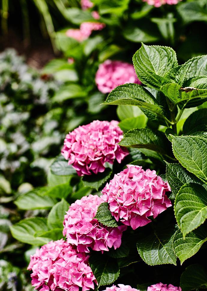 Pink-petalled *Hydrangea macrophylla*.