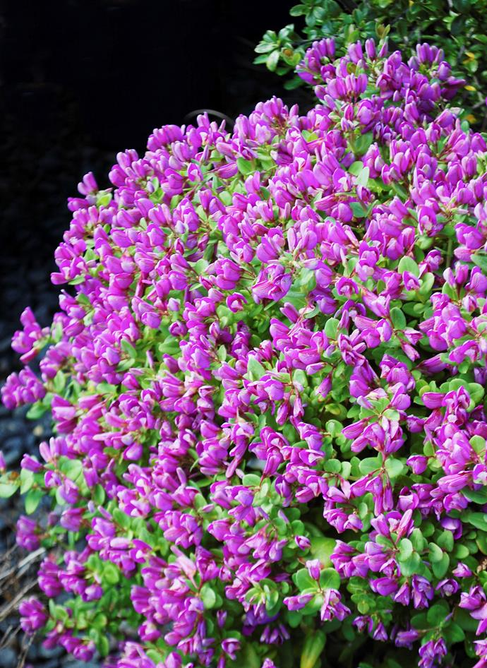 "Polygala 'Little Bibi'. Photo: [Plant Growers Australia](http://www.pga.com.au/?AspxAutoDetectCookieSupport=1/?utm_campaign=supplier/|target=""_blank"")"