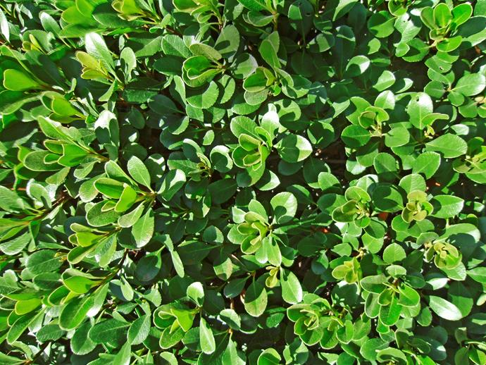 "Rhaphiolepis 'Oriental Pearl'. Photo: [Plant Growers Australia](http://www.pga.com.au/?AspxAutoDetectCookieSupport=1/?utm_campaign=supplier/|target=""_blank"")"