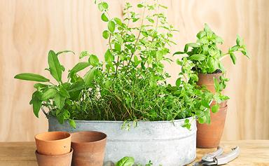 10 easy to grow herb plants