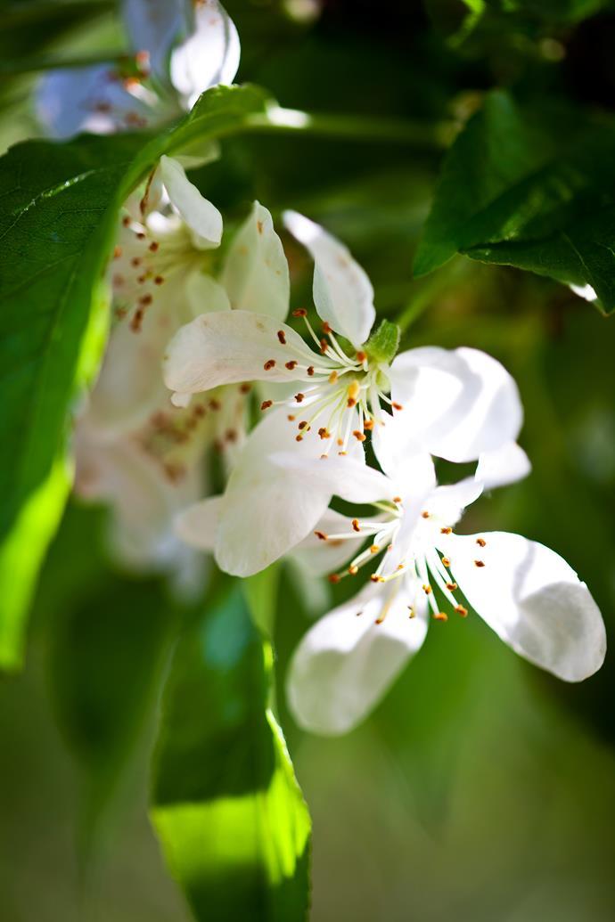 Delicate crab-apple blossoms.