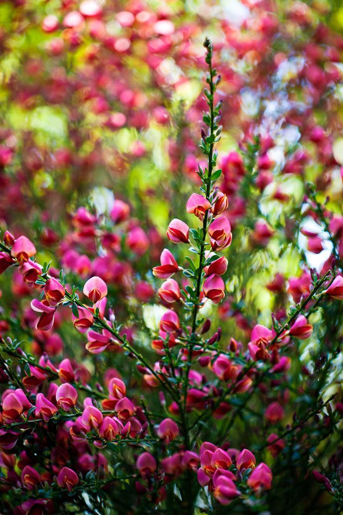 Pea-like broom flowers (Cytisus).