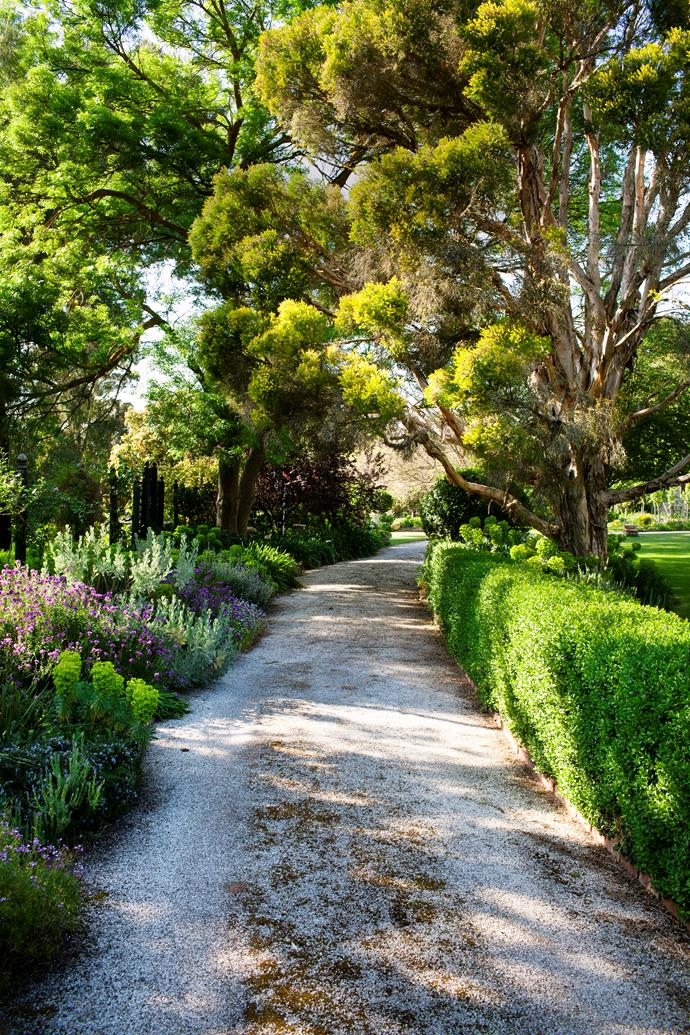 The sweeping driveway at Evandale homestead is edged with patchwork planting of lime-spired euphorbias, purple wallflowers and lavenders. The privet hedge is a progeny of the original, planted in the 1860s. A claret ash (left) and melaleuca (right) overhang the driveway.