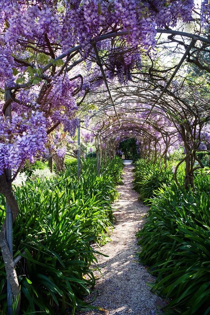 """The wisteria walk, planted in the 1980s, is a triumph produced by 16 plants. """"Good old, tough wisteria,"""" says Jenni. """"The perfume is lovely when it's in full bloom in spring."""" The mauve flowers are complemented by the deep-green leaves of the massed agapanthus."""