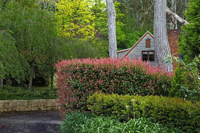 Wayne and Sue's mountain cottage nestles into the garden, protected from the worst winds by layers of dense hedging. *Photinia glabra* 'Rubens' is tall, dense and adds colour with its red new growth and is edged by a low clipped hedge of *Camellia japonica* 'Hari Withers'.