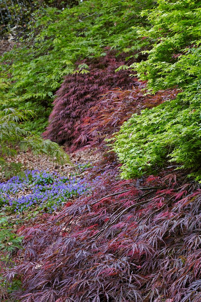 The burgundy foliage of *Acer palmatum* 'Dissectum Atropurpureum' contrasts with the bright green of A. *palmatum* 'Connara Pygmy'. In the background is *Acer japonicum* 'Green Cascade'. The planting is edged with a patch of light blue violet (*Viola labradorica*).