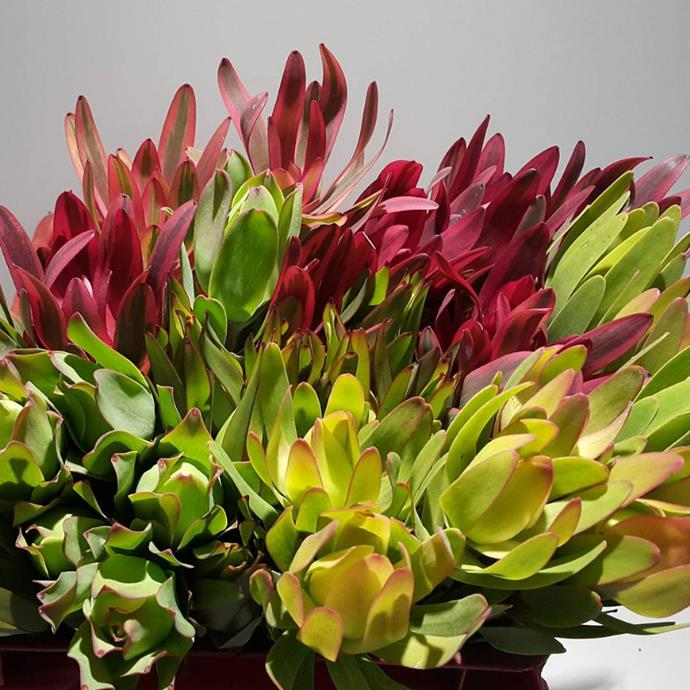 "Leucadendrons of all colours are coming into bloom. Photo via [@afgmirjam](https://www.instagram.com/afgmirjam/?utm_campaign=supplier/|target=""_blank"")"