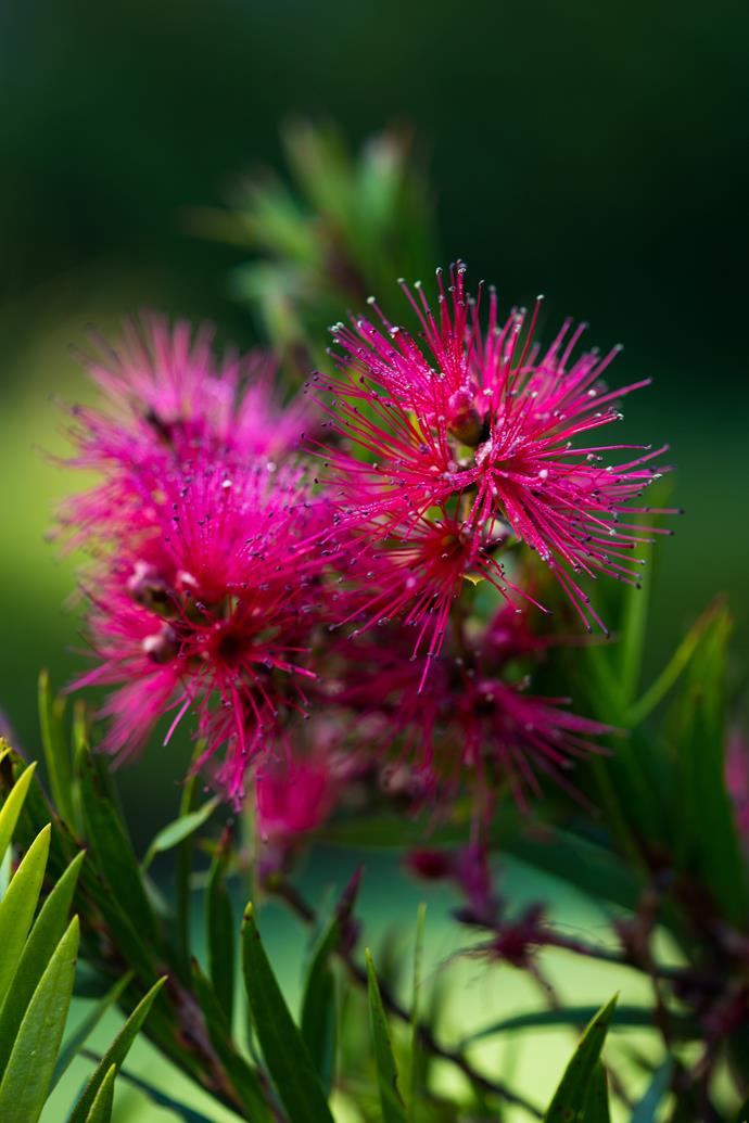 The nectar-rich flowers of a bottlebrush.