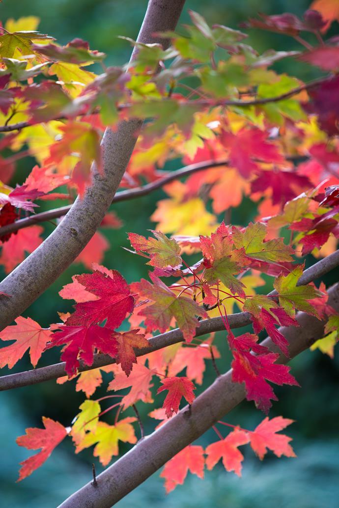 The autumnal colours of Acer 'Autumn Blaze'.