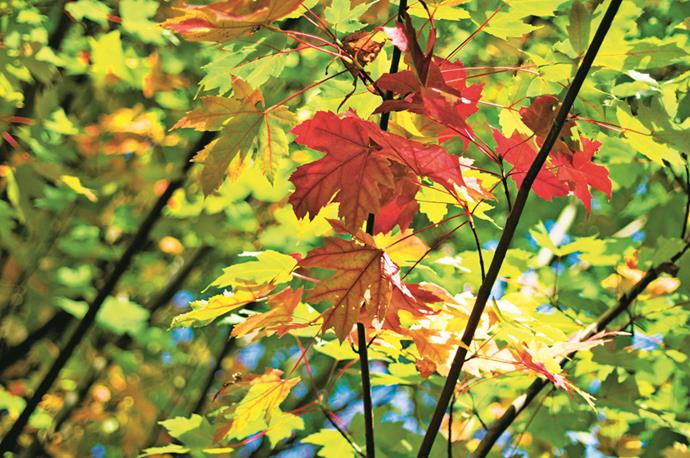 """A beautiful shade tree for a mediums ize garden in a temperate zone such as Sydney is *Acer platanoides* (Norway maple), which has lovely autumn colour. If you live in Perth, red maple (*Acer rubrum* 'Autumn Blaze', above), has stunning seasonal colour and is drought tolerant."" – Wes Fleming of [Fleming's Nurseries](http://www.flemings.com.au/?utm_campaign=supplier/
