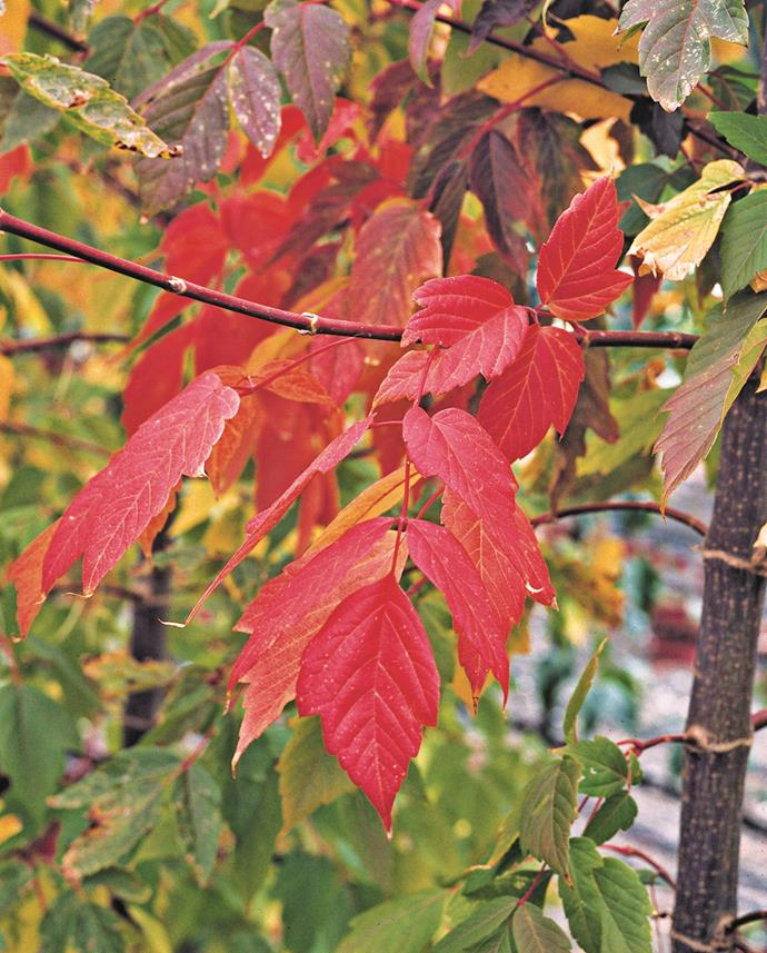 """For plants to enjoy in the short term, go for fast-growing, drought-tolerant species such as *Acer negundo* 'Sensation' (Box-elder maple)."" – Ruth Czermak of [Botanical Traditions](http://www.botanicaltraditions.com.au/?utm_campaign=supplier/