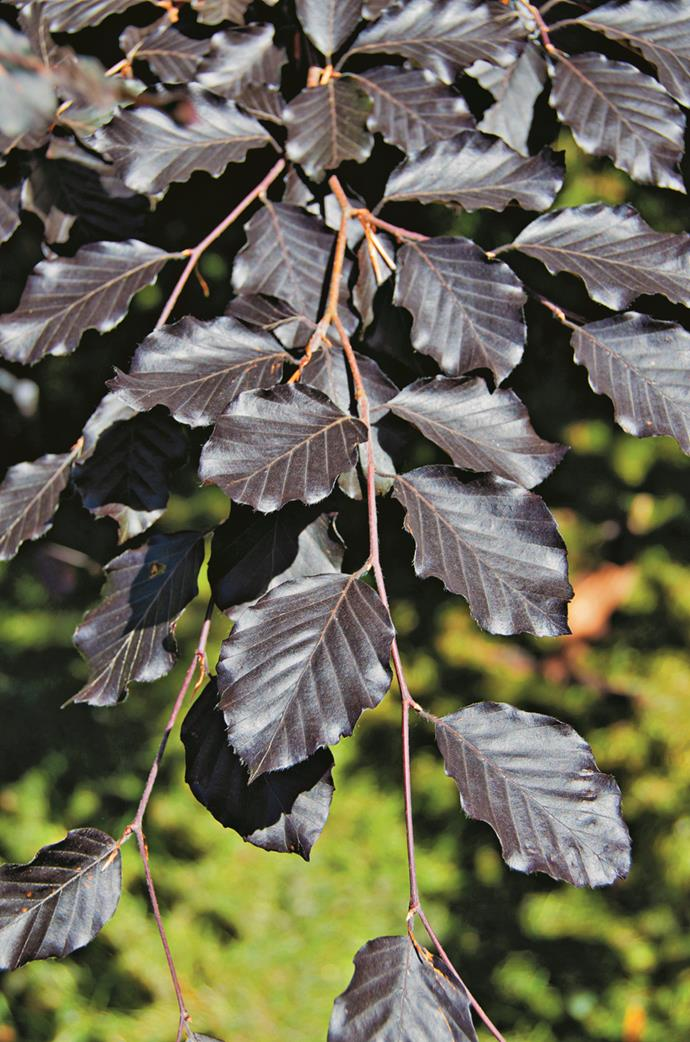 """For a large garden in a cooler climate, try *Fagus sylvatica f. purpurea* (purple beech). They're magnificent – but be prepared: they're slow growers."" – Wes Fleming of [Fleming's Nurseries](http://www.flemings.com.au/?utm_campaign=supplier/