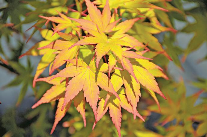 """The two best trees for autumn colour are maple and liquidambar. Liquidambar is best suited to large gardens in temperate climates. For compact spaces, choose a maple such as the *Acer palmatum* (Japanese maple). There are varieties to suit most locations, but they colour best in cooler areas."" – Ruth Czermak of [Botanical Traditions](http://www.botanicaltraditions.com.au/?utm_campaign=supplier/