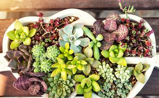Strike your own succulents