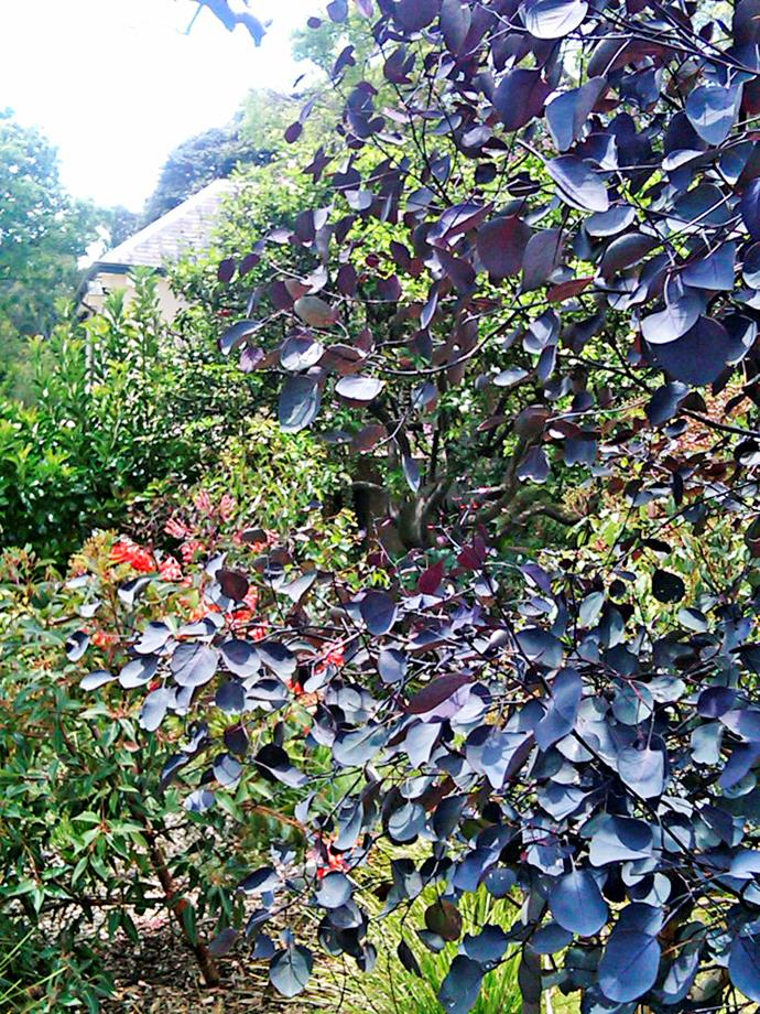 """An amazing native tree that creates a great talking point and dappled shade is sugar gum (*Eucalyptus cladocalyx* 'Vintage Red') – its purple leaves are a real show-stopper. Although a relatively new cultivar, it seems to grow smaller than the straight form with an expected mature height of around 8m."" - Ruth Czermak, [Botanical Traditions](http://www.botanicaltraditions.com.au/?utm_campaign=supplier/