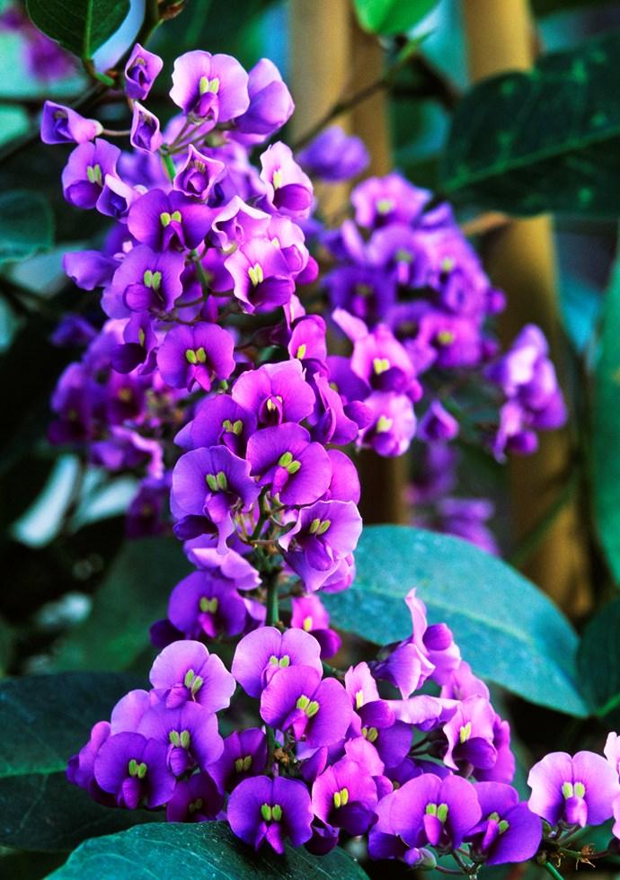 *Hardenbergia violacea* 'Mini Haha'.