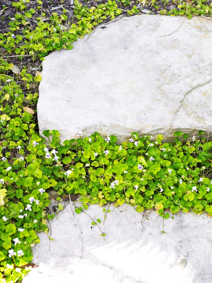 *Viola hederacea* (native violet).