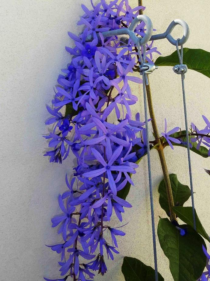 Petrea kohautiana (purple passion)