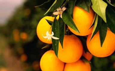 What to consider when choosing a citrus tree