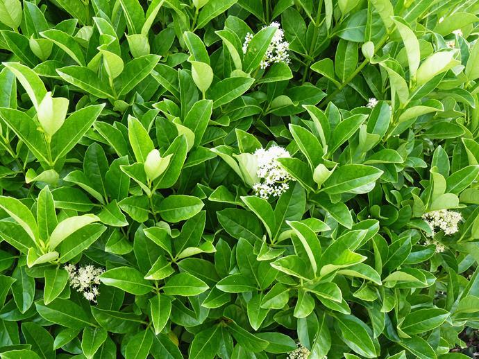 Sweet Viburnum (*Viburnum odoratissimum*).