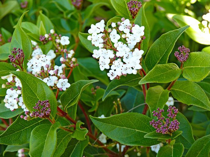 *Viburnum tinus* (laurustinus).