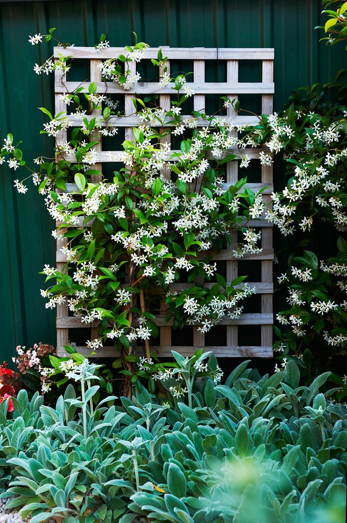 Star jasmine trails above a sea of *Plectranthus*.