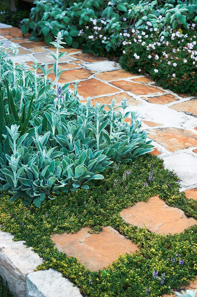 "A species of thyme, *Thymus cv.* 'Doones Valley' is planted as a [groundcover](http://www.homestolove.com.au/a-guide-to-groundcovers-3632/?utm_campaign=supplier/|target=""_blank"") around the sandstone flagging. On the other side of the path is the pretty cranesbill geranium (*Geranium* x *cantabrigiense* 'Biokovo')."