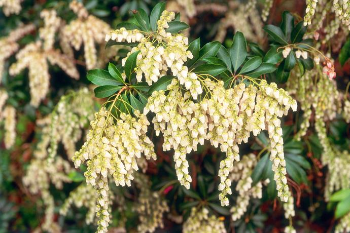 """For a dose of pretty, try *Pieris* 'Temple Bells'. It's a shrub that grows to about 1m high with smallish leaves that range from lime green to copper."" - landscape designer, [Joanne Green](http://www.joannegreen.com.au/