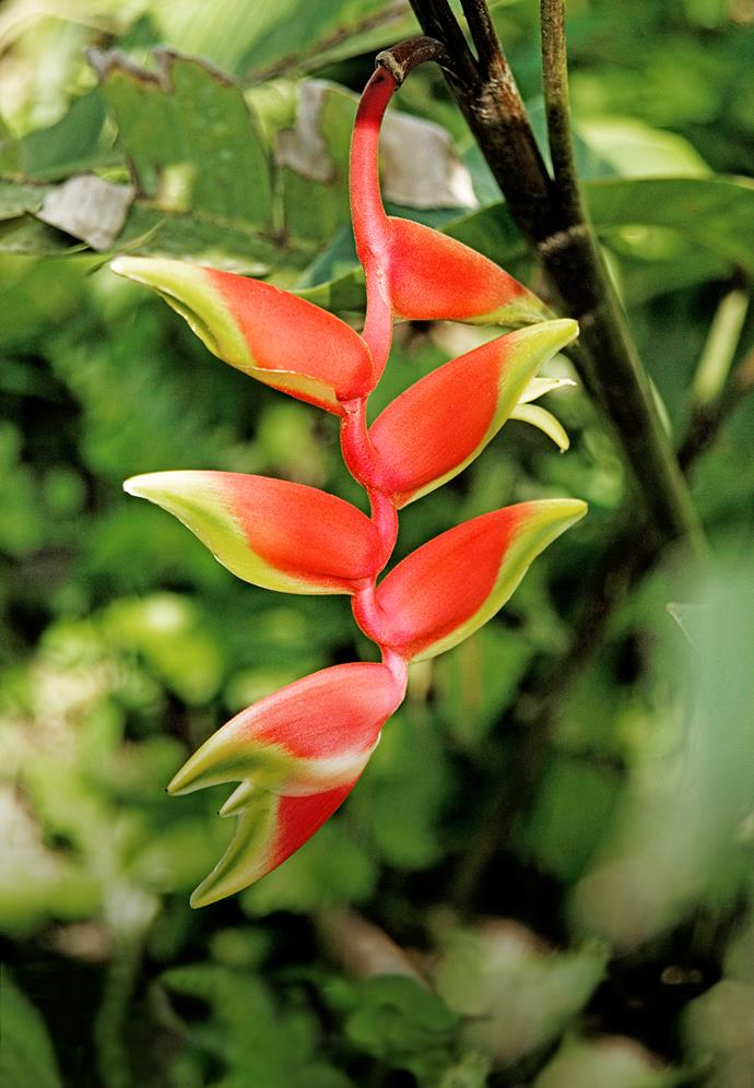 """In the humid subtropics there are an abundance of show-stoppers to choose from, including hanging heliconia (*Heliconia rostrata*, pictured), empress bromeliad (*Alcantarea imperialis*) and spear lily (*Doryanthes palmeri*)."" - Arno King, director at Arno King Landscape Architects."