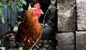 How to choose the right chickens for your backyard